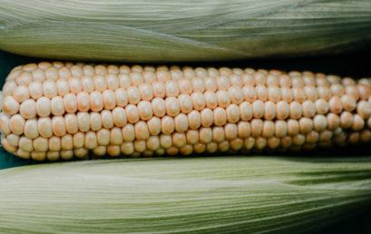 Kukurydza – jedna z najpopularniejszych roślin uprawnych