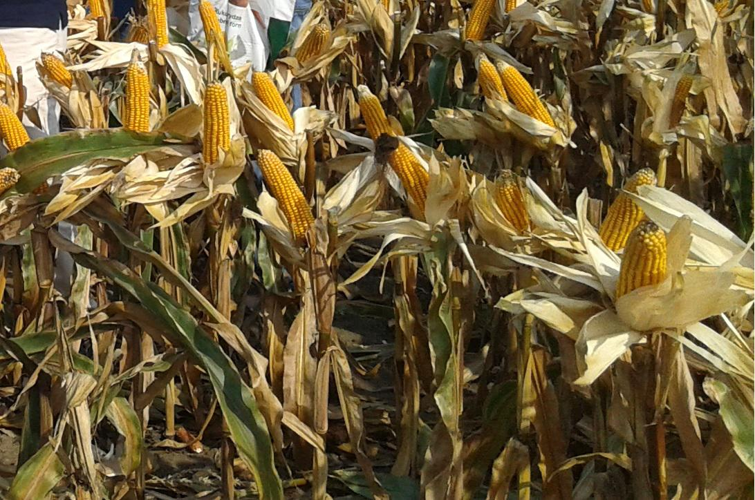 Jaką kukurydzę zasiejesz w tym roku?