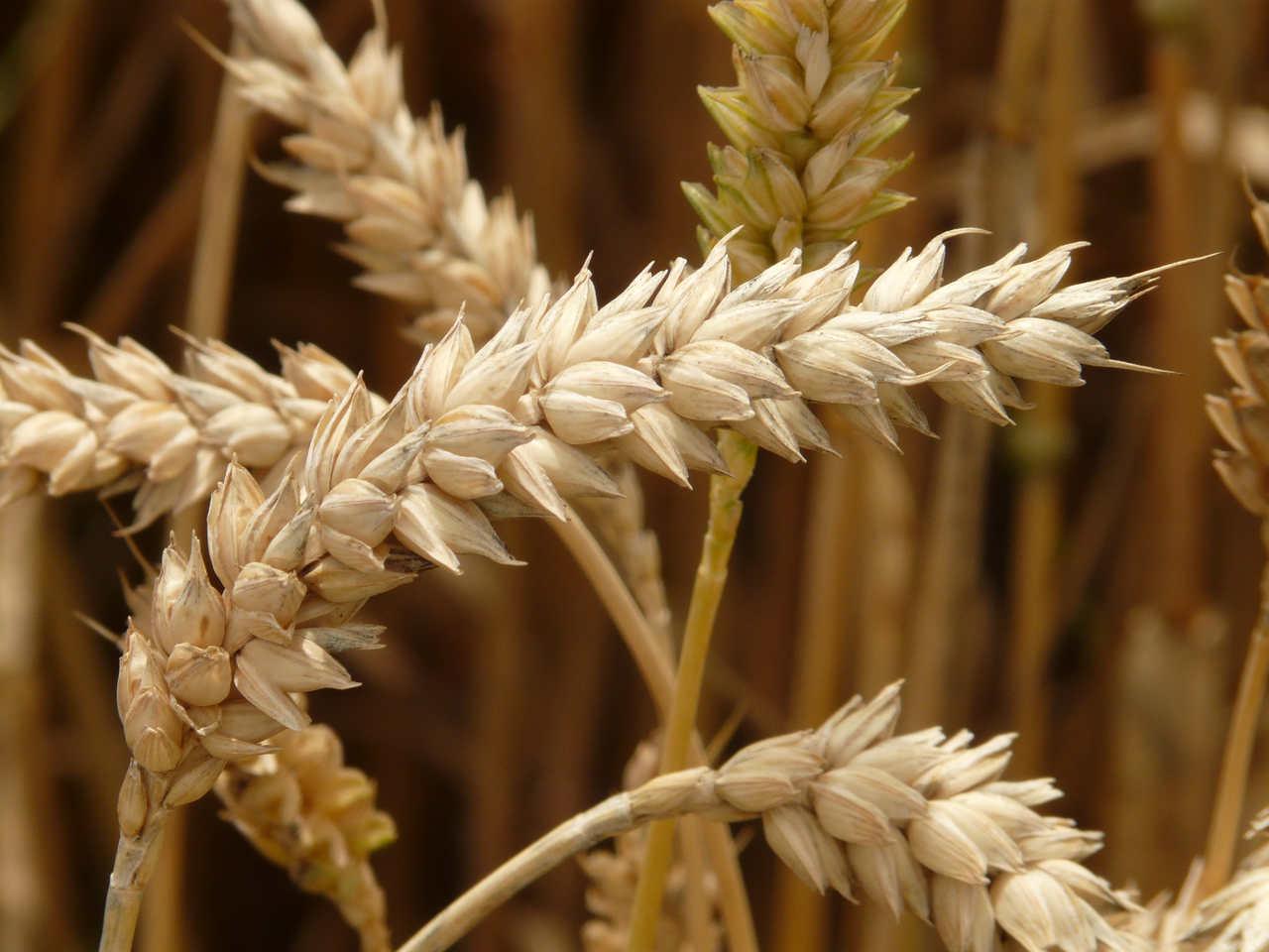Pszenica ozima i jej jesienne zabiegi herbicydowe